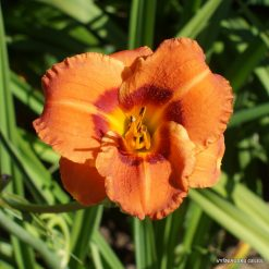 Daylily 'Ding Ding Dong'