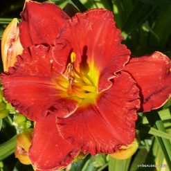 Daylily 'Fire on the Mountain'