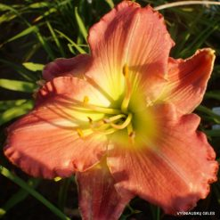 Daylily Gentle Rose