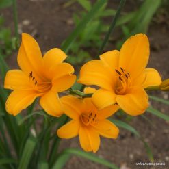 Daylily 'Gold Aus China'