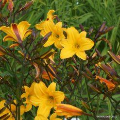 Daylily 'Golden Chimes'