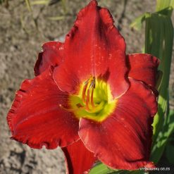 Daylily 'Heartless'