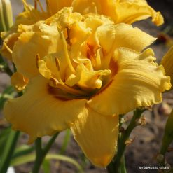 Daylily 'Heavenly Fision'