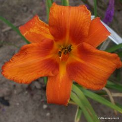 Daylily 'Higher And Fire'