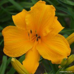 Daylily 'Junigold'