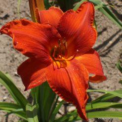 Daylily 'Orangefackel'