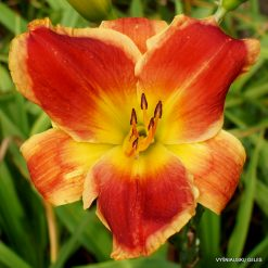 Daylily 'Passion's Promise'