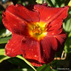 Daylily 'Picking up a Dream'