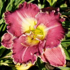Daylily 'Ring The Bells of Heaven'