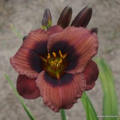 Daylily Roguish Imp