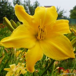 Daylily 'Sears Tower'