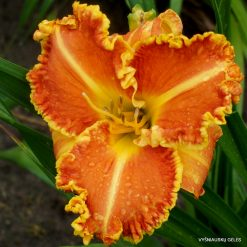 Daylily 'Seasons in the Sun'