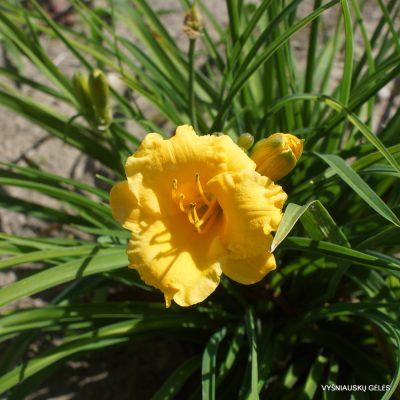 Daylily 'Seeds of Peace'