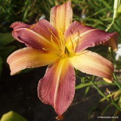 Daylily 'The Sky is Falling'