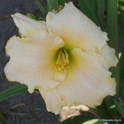 Daylily 'White Rose Memorial'