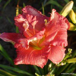 Daylily 'Zona Rosa'