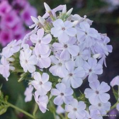 Phlox 'Balts Krustenis'