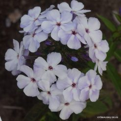 Phlox 'Blue Flame'