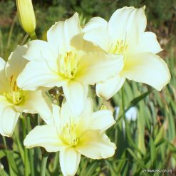 daylily 'Paean For Jocelyn'