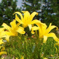 Daylily-Hesperus
