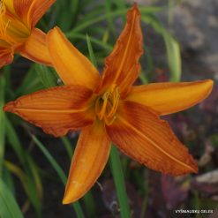 Daylily-Painted-Lady