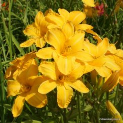 Hemerocallis-Cartwheels