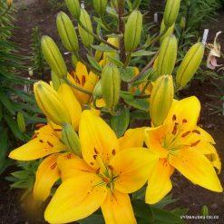 Lily 'Geltonoji Pilaitė'