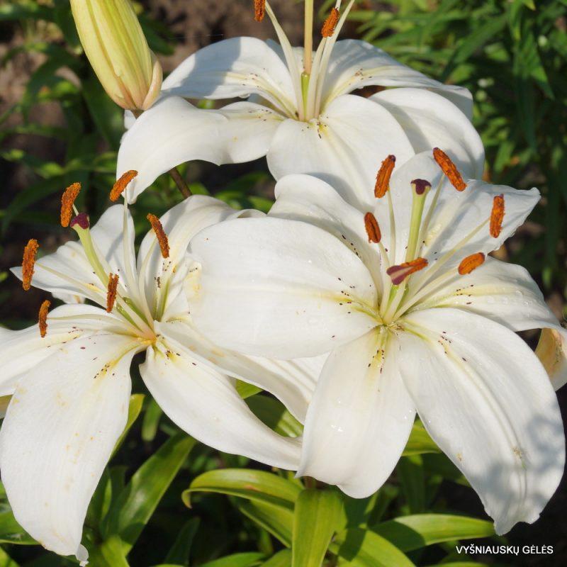 Lily 'Gulbė' (2)