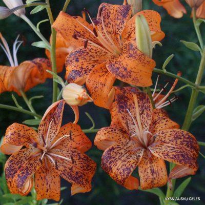 Lily 'Tigriukas'