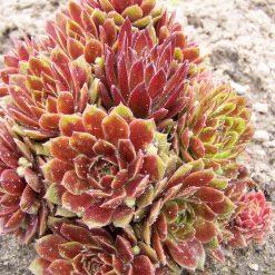 Sempervivum 'Gloriosum'