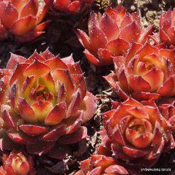 Sempervivum 'Orange Glow'