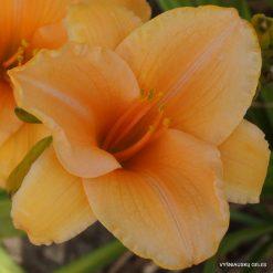 daylily-Ruffled-Apricot-1
