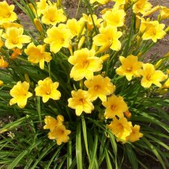 daylily-Stella-de-Oro