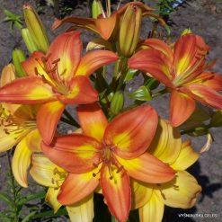 lily 'Saulės Palytėta'