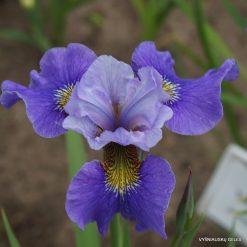 Iris 'Angenehme Seereise'