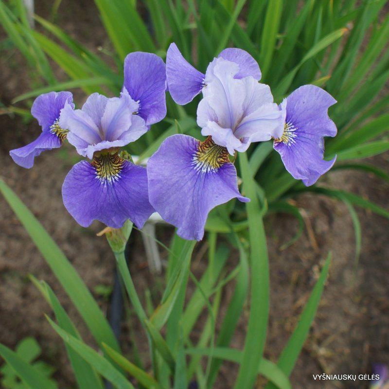 Iris 'Angenehme Seereise' (3)