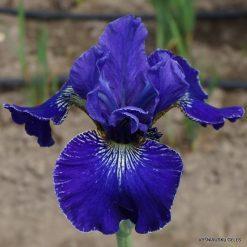 Iris 'Berlin Ruffles'