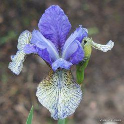 Iris 'Berries and Cream'