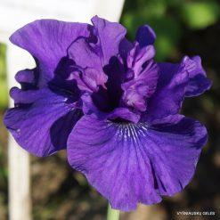Iris 'Blueberry Brandy'