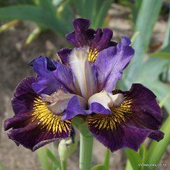 Iris 'Dusky Dawn' (2)