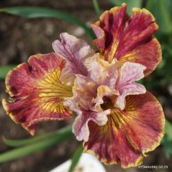 Iris 'Festive Coquette'