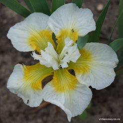 Iris 'Heliocentric System'