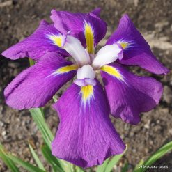 Iris Iris 'Loyalty'