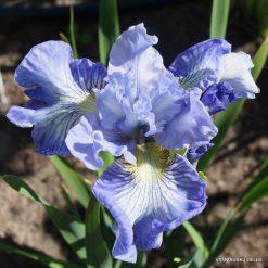 Iris 'Joyous Ruffles'