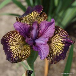 Iris 'Juniper Leigh' (2)