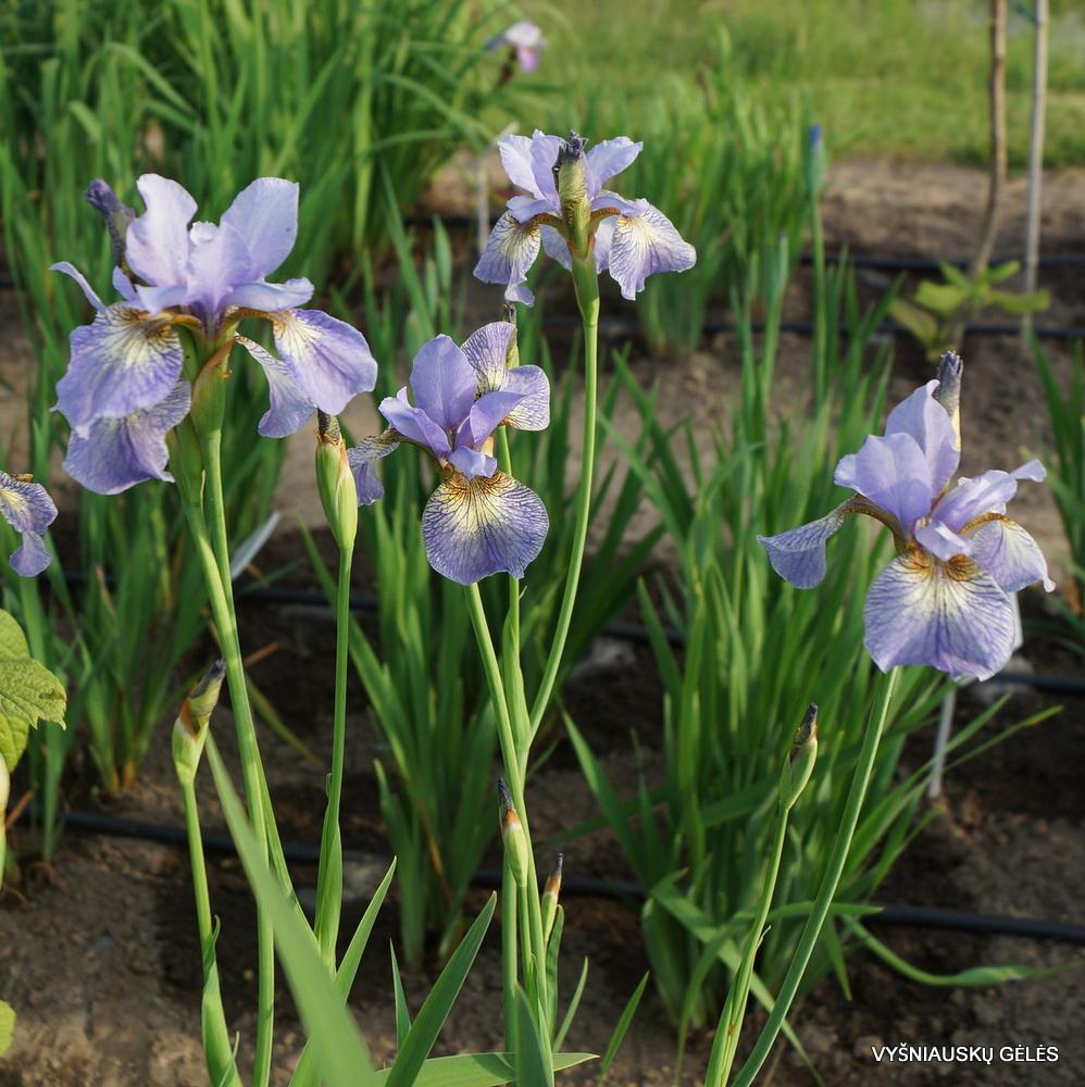 Iris 'Kleiner Schmetterling' (2)