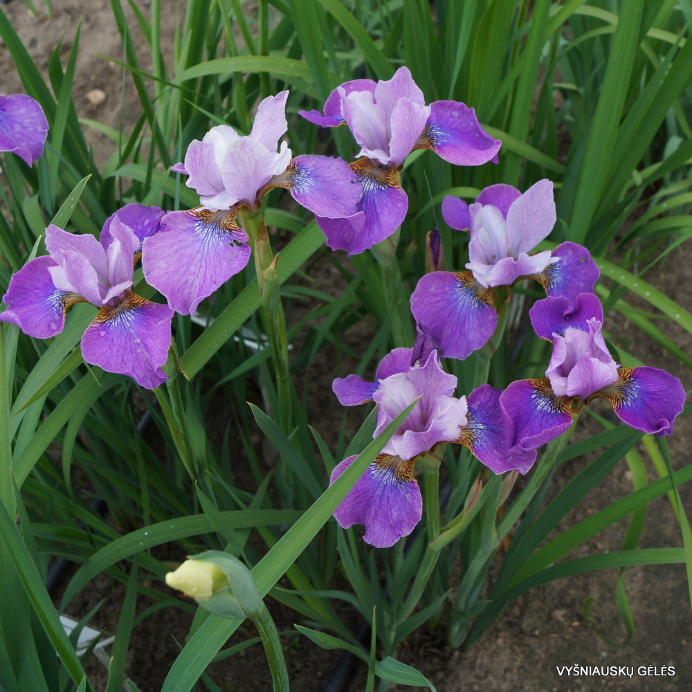 Iris 'Lavendelwein' (3)