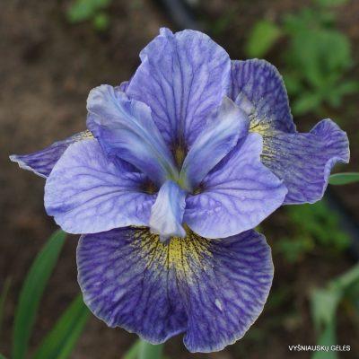 Iris 'Magnetism' (2)
