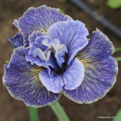Iris 'Magnetism'