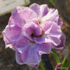 Iris 'Pink Parfait'